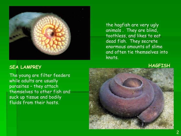 the hagfish are very ugly animals .  They are blind, toothless, and likes to eat dead fish.  They secrete enormous amounts of slime and often tie themselves into knots.