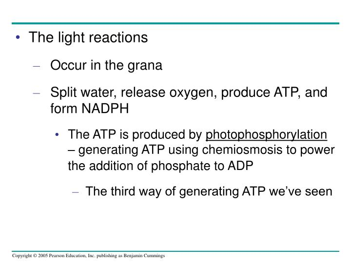 The light reactions