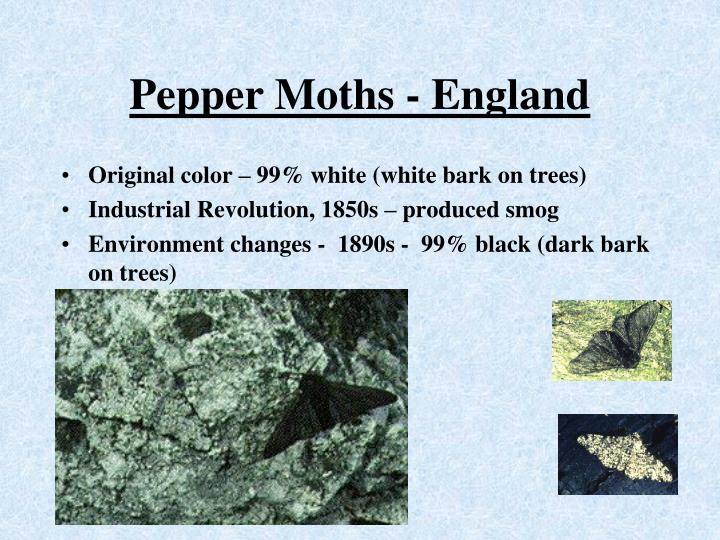Pepper Moths - England