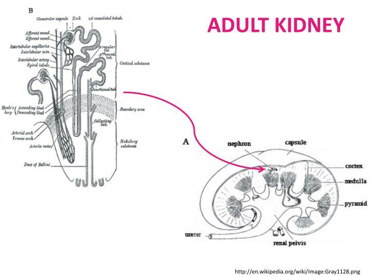 ADULT KIDNEY