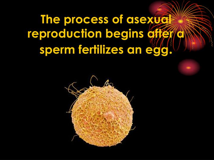 The process of asexual reproduction begins after a sperm fertilizes an egg