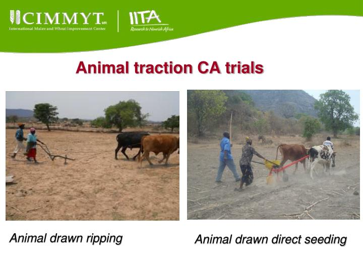 Animal traction CA trials