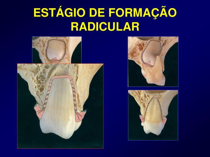 ESTÁGIO DE FORMAÇÃO RADICULAR
