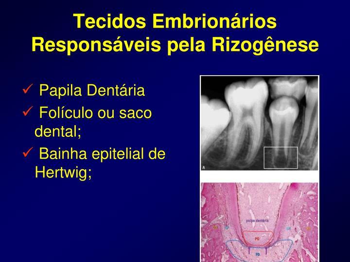 Tecidos Embrionários Responsáveis pela Rizogênese