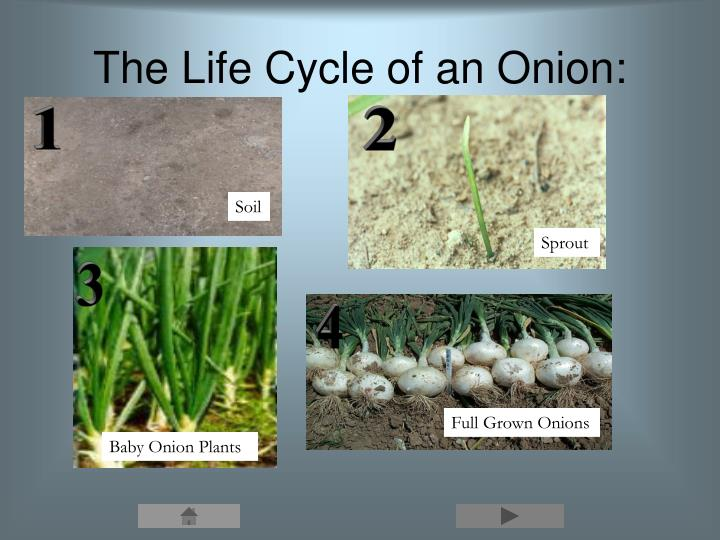 The Life Cycle of an Onion: