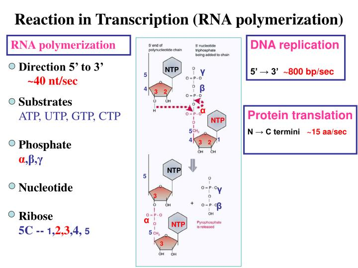 Reaction in Transcription (RNA polymerization)