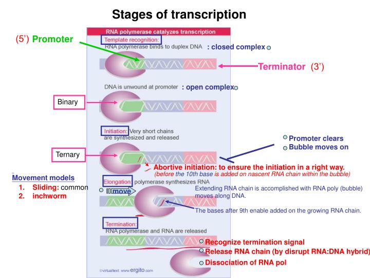 Stages of transcription