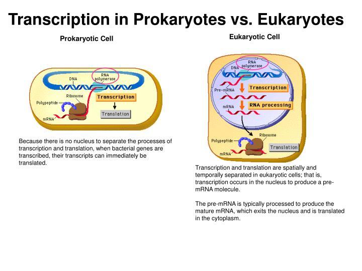Transcription in Prokaryotes vs. Eukaryotes