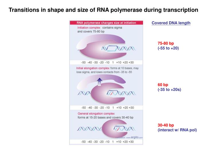 Transitions in shape and size of RNA polymerase during transcription