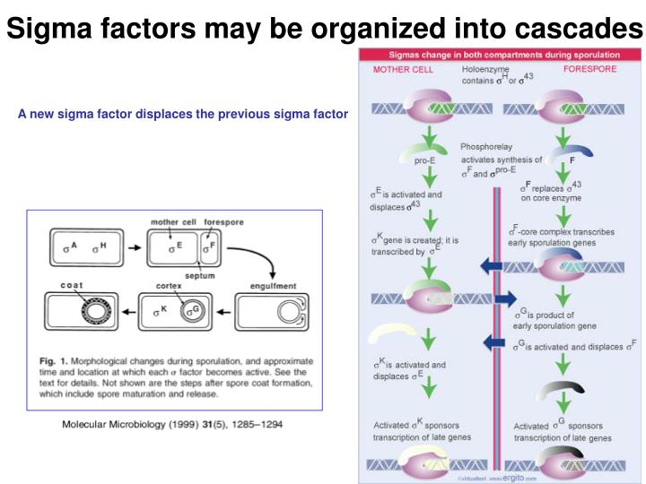 Sigma factors may be organized into cascades