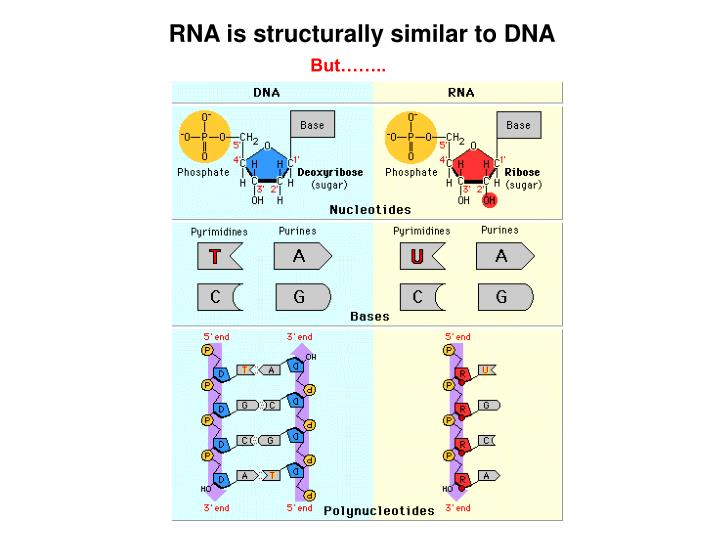 RNA is structurally similar to DNA