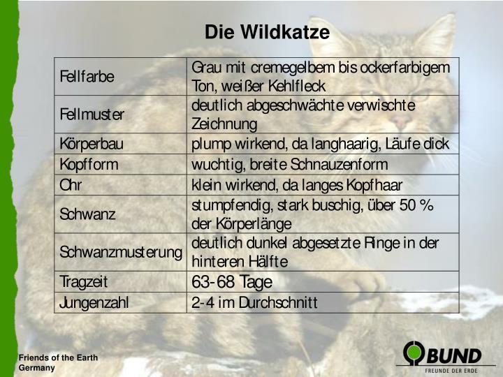 Die Wildkatze