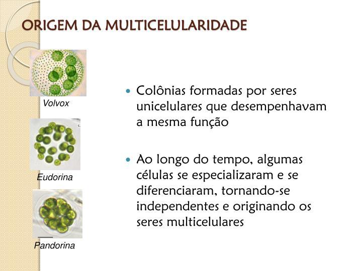 ORIGEM DA MULTICELULARIDADE