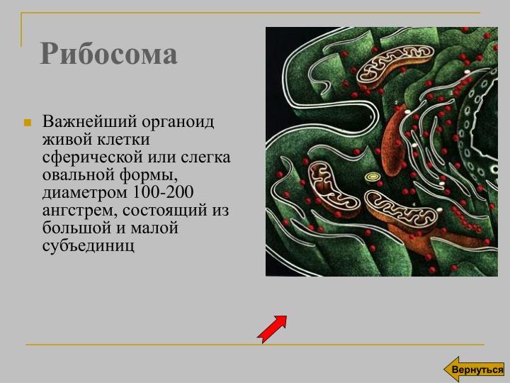 Рибосома