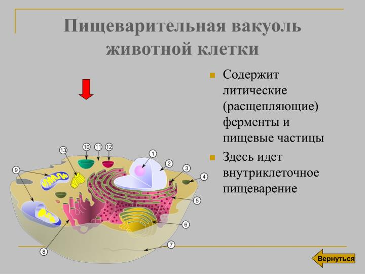 Пищеварительная вакуоль животной клетки