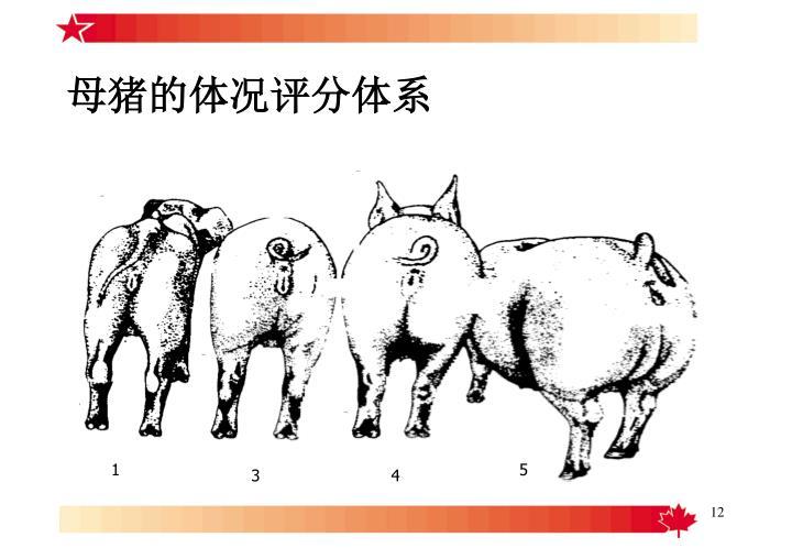 母猪的体况评分体系
