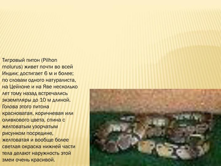 Тигровый питон (Pilhon molurus) живет почти во всей Индии; достигает 6 м и более; по словам одного натуралиста, на Цейлоне и на Яве несколько лет тому назад встречались экземпляры до 10 м длиной. Голова этого питона красноватая, коричневая или оливкового цвета, спина с желтоватым узорчатым рисунком посредине, желтоватая и вообще более светлая окраска нижней части тела делают наружность этой змеи очень красивой.