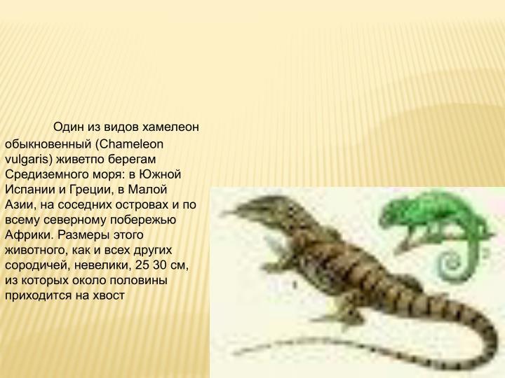(Chameleon vulgaris)    :     ,   ,         .   ,     , , 25 30 ,