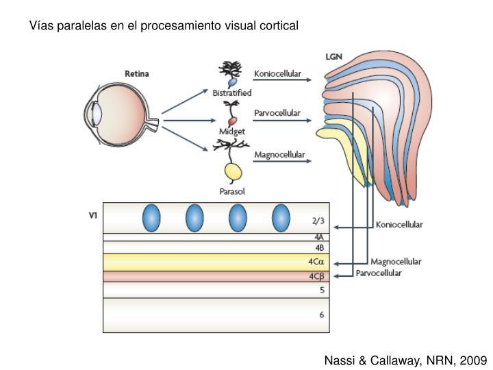 Vías paralelas en el procesamiento visual cortical