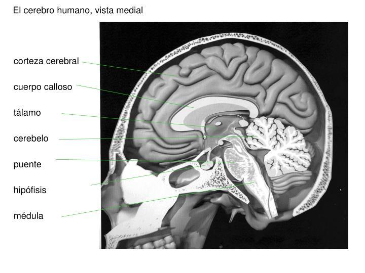 El cerebro humano, vista medial