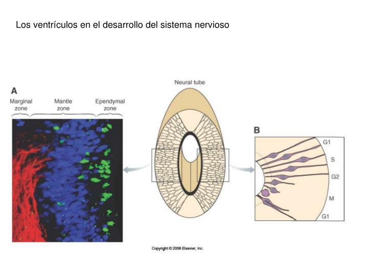 Los ventrículos en el desarrollo del sistema nervioso