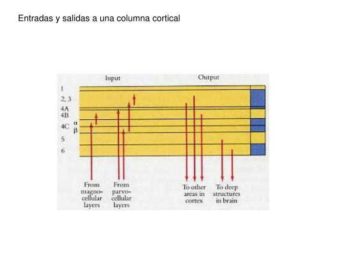 Entradas y salidas a una columna cortical