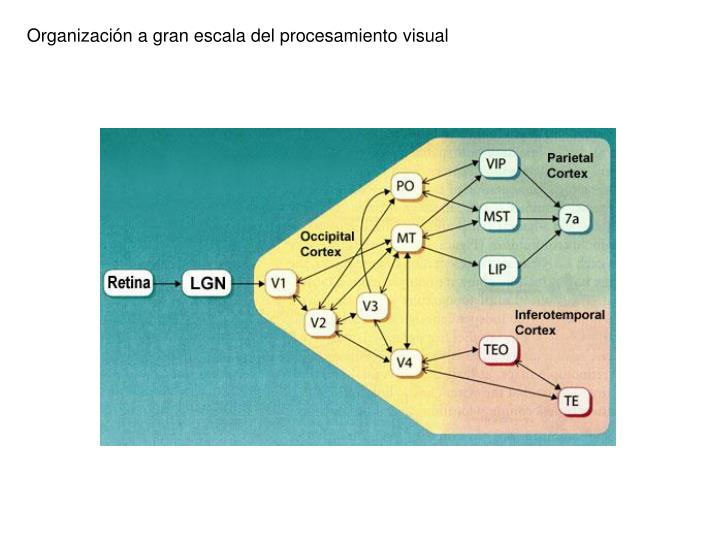 Organización a gran escala del procesamiento visual