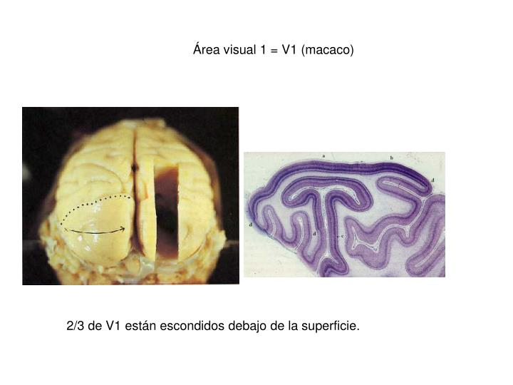 Área visual 1 = V1 (macaco)
