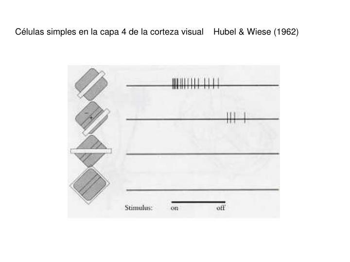 Células simples en la capa 4 de la corteza visual    Hubel & Wiese (1962)