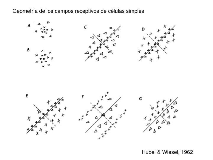 Geometría de los campos receptivos de células simples