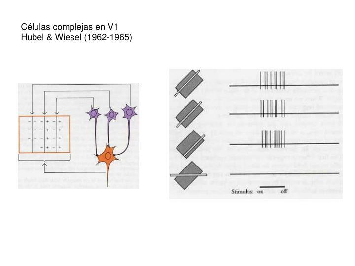 Células complejas en V1