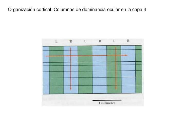 Organización cortical: Columnas de dominancia ocular en la capa 4