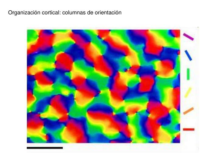 Organización cortical: columnas de orientación