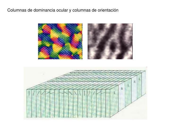 Columnas de dominancia ocular y columnas de orientación