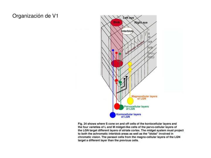 Organización de V1