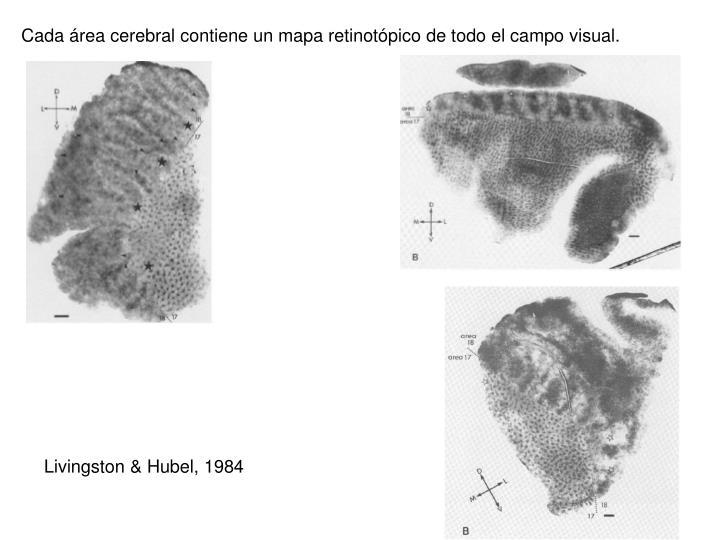 Cada área cerebral contiene un mapa retinotópico de todo el campo visual.