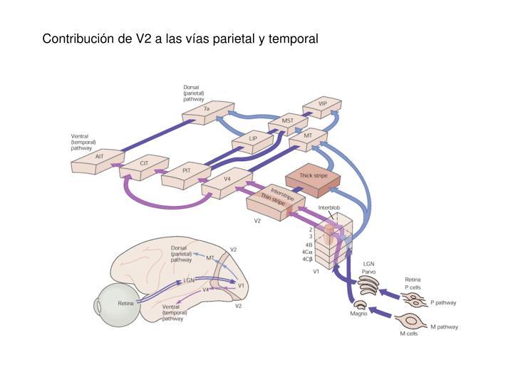 Contribución de V2 a las vías parietal y temporal
