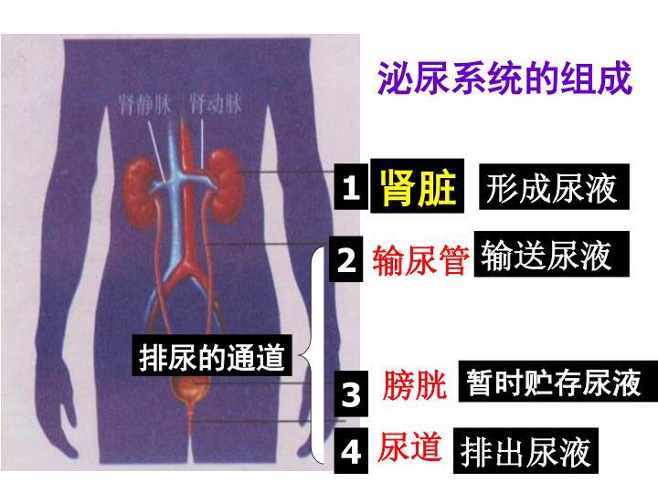 泌尿系统的组成
