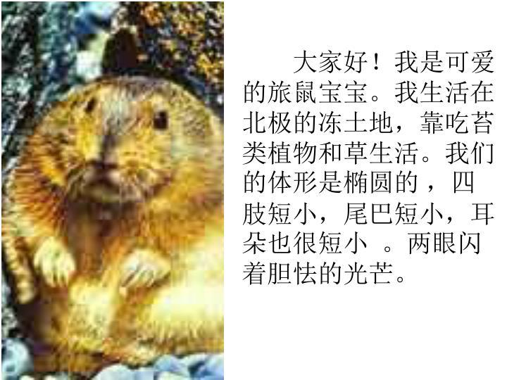 大家好!我是可爱的旅鼠宝宝。我生活在北极的冻土地,靠吃苔类植物和草生活。我们的体形是椭圆的 ,四肢短小,尾巴短小,耳朵也很短小  。两眼闪着胆怯的光芒。