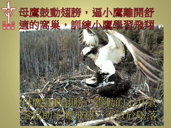 母鷹鼓動翅膀,逼小鷹離開舒適的窩巢,訓練