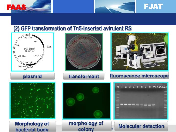 (2) GFP transformation of Tn5-inserted avirulent RS