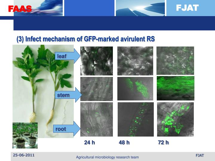 (3) Infect mechanism of GFP-marked avirulent RS