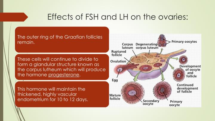 Effects of FSH and LH on the ovaries: