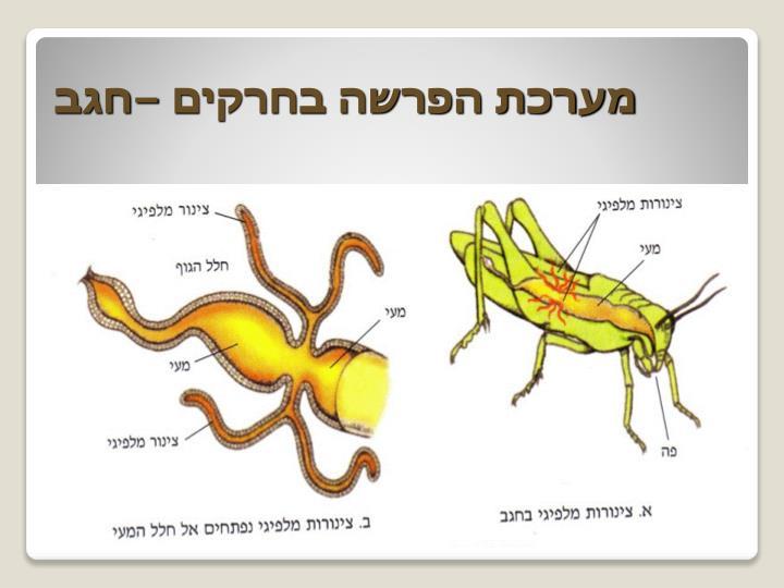 מערכת הפרשה בחרקים –חגב
