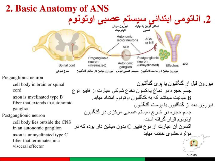 2. Basic Anatomy of ANS