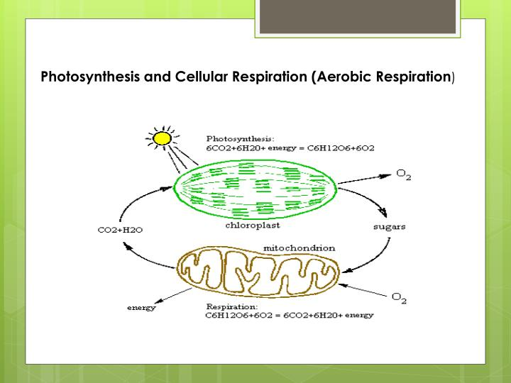 Photosynthesis and Cellular Respiration (Aerobic Respiration