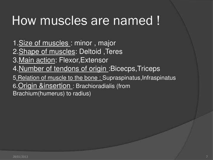 How muscles are named !