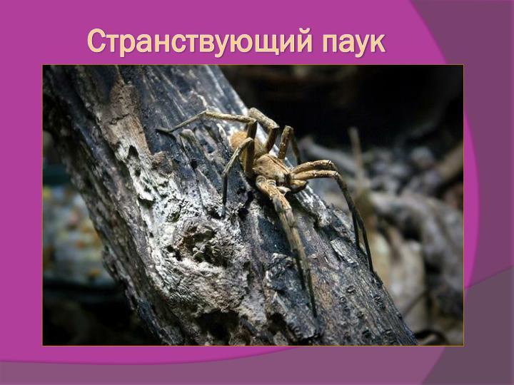 Странствующий паук