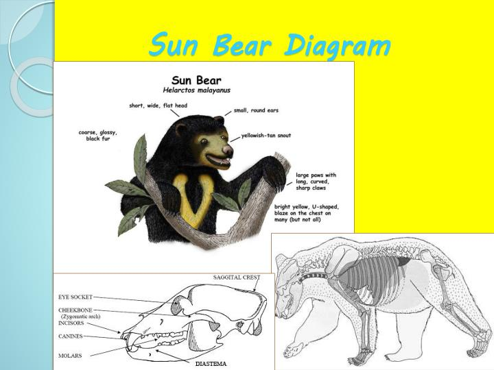 Sun Bear Diagram