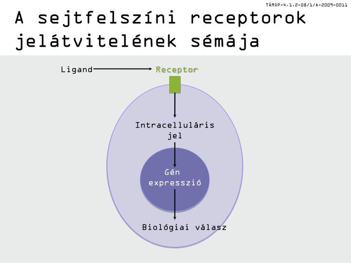 A sejtfelszíni receptorok jelátvitelének sémája